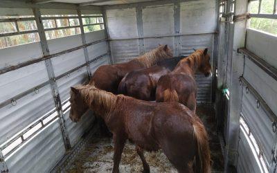 Subasta de 4 Reses Mostrencas (Cabalos)